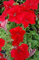 Dreams Red Petunia (Petunia 'Dreams Red') at Martin's Home and Garden
