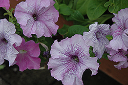 Aladdin Nautical Mix Petunia (Petunia 'Aladdin Nautical Mix') at Martin's Home & Garden
