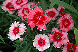 Super Parfait™ Strawberry Pinks (Dianthus 'Super Parfait Strawberry') at Martin's Home and Garden