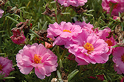 Tequila Pink Portulaca (Portulaca grandiflora 'Tequila Pink') at Martin's Home and Garden