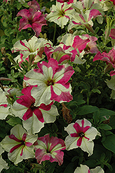 Sophistica Lime Bicolor Petunia (Petunia 'Sophistica Lime Bicolor') at Martin's Home and Garden