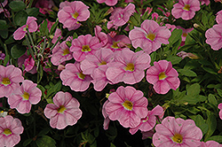 Aloha Soft Pink Calibrachoa (Calibrachoa 'Aloha Soft Pink') at Martin's Home & Garden