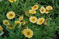 Aloha Gold Calibrachoa (Calibrachoa 'Aloha Gold') at Martin's Home and Garden