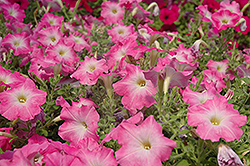 Easy Wave Pink Dawn Petunia (Petunia 'Easy Wave Pink Dawn') at Martin's Home and Garden