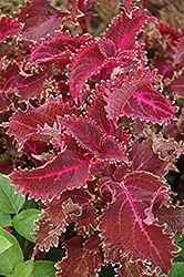 Red Ruffles Coleus (Solenostemon scutellarioides 'Red Ruffles') at Martin's Home and Garden