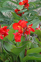 Tropical Red Canna (Canna 'Tropical Red') at Martin's Home and Garden
