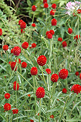 Strawberry Fields Gomphrena (Gomphrena haageana 'Strawberry Fields') at Martin's Home & Garden