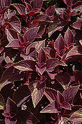 Vino Coleus (Solenostemon scutellarioides 'Vino') at Martin's Home and Garden