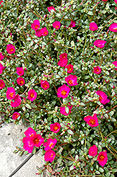 Toucan Fuchsia Portulaca (Portulaca oleracea 'Toucan Fuchsia') at Martin's Home and Garden
