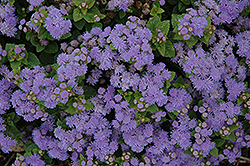 Aloha Blue Flossflower (Ageratum 'Aloha Blue') at Martin's Home and Garden