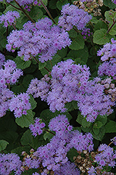 Blue Mink Flossflower (Ageratum 'Blue Mink') at Martin's Home and Garden