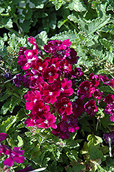 Lanai® Royal Purple with Eye Verbena (Verbena 'Lanai Royal Purple with Eye') at Martin's Home & Garden