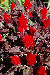 Smart Look Red Celosia (Celosia 'Smart Look Red') at Martin's Home & Garden
