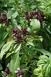 Siam Queen Basil (Ocimum basilicum 'Siam Queen') at Martin's Home and Garden