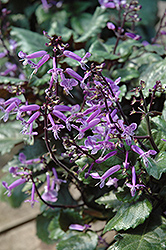 Mona Lavender Swedish Ivy (Plectranthus 'Mona Lavender') at Martin's Home and Garden