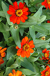 Profusion Fire Zinnia (Zinnia 'Profusion Fire') at Martin's Home and Garden
