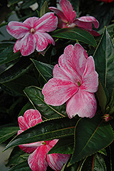 Sonic® Magic Pink New Guinea Impatiens (Impatiens 'Sonic Magic Pink') at Martin's Home and Garden