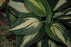 Hudson Bay Hosta (Hosta 'Hudson Bay') at Martin's Home & Garden