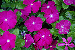 Sunstorm Deep Orchid Vinca (Catharanthus roseus 'Sunstorm Deep Orchid') at Martin's Home and Garden