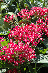 Butterfly™ Pink Star Flower (Pentas lanceolata 'Butterfly Pink') at Martin's Home and Garden