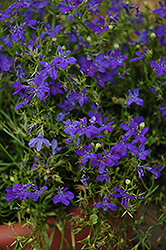 Deep Blue Star Lobelia (Lobelia 'Deep Blue Star') at Martin's Home and Garden