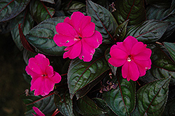 Harmony Violet New Guinea Impatiens (Impatiens hawkeri 'Harmony Violet') at Martin's Home and Garden