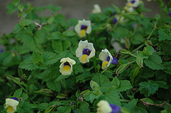 Lovely Yellow Torenia (Torenia 'Lovely Yellow') at Martin's Home and Garden