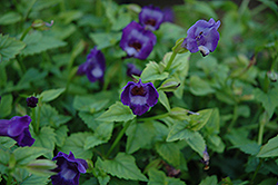 Summer Wave® Large Violet Torenia (Torenia 'Summer Wave Large Violet') at Martin's Home and Garden