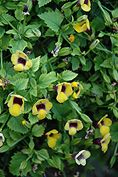 Golden Moon Torenia (Torenia 'Golden Moon') at Martin's Home and Garden