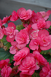 Dragone Dusty Rose Begonia (Begonia 'Dragone Dusty Rose') at Martin's Home & Garden