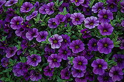 Cabaret® Deep Blue Calibrachoa (Calibrachoa 'Cabaret Deep Blue') at Martin's Home & Garden