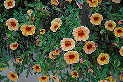 MiniFamous® iGeneration Apricot Red Eye Calibrachoa (Calibrachoa 'MiniFamous iGeneration Apricot Red Eye') at Martin's Home & Garden