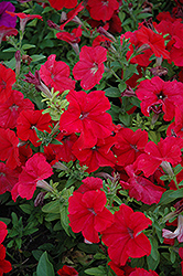 Duvet Red Petunia (Petunia 'Duvet Red') at Martin's Home and Garden