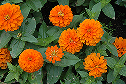 Magellan Orange Zinnia (Zinnia 'Magellan Orange') at Martin's Home and Garden