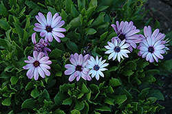 Asti Purple Bicolor African Daisy (Osteospermum 'Asti Purple Bicolor') at Martin's Home & Garden
