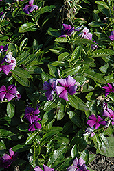 First Kiss Blueberry Vinca (Catharanthus roseus 'First Kiss Blueberry') at Martin's Home and Garden
