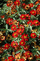 Zahara® Scarlet Zinnia (Zinnia 'Zahara Scarlet') at Martin's Home and Garden