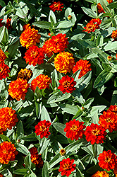 Profusion Double Fire Zinnia (Zinnia 'Profusion Double Fire') at Martin's Home and Garden