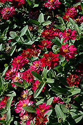 Profusion Double Cherry Zinnia (Zinnia 'Profusion Double Cherry') at Martin's Home & Garden