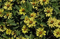 Zahara® Yellow Zinnia (Zinnia 'Zahara Yellow') at Martin's Home & Garden