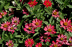 Profusion Coral Pink Zinnia (Zinnia 'Profusion Coral Pink') at Martin's Home & Garden