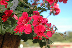 Precision Dark Salmon Ivy Leaf Geranium (Pelargonium peltatum 'Precision Dark Salmon') at Martin's Home & Garden