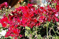 Precision Burgundy Ivy Leaf Geranium (Pelargonium peltatum 'Precision Burgundy') at Martin's Home and Garden