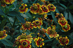 Can Can Sneezeweed (Helenium 'Can Can') at Martin's Home & Garden