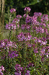 Spirit Violetta Spiderflower (Cleome hassleriana 'Spirit Violetta') at Martin's Home and Garden