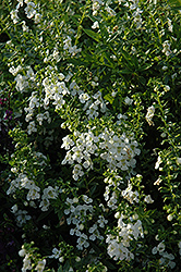 Serenita White Angelonia (Angelonia angustifolia 'Serenita White') at Martin's Home and Garden