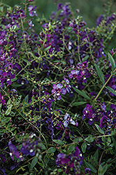 AngelMist® Spreading Purple Angelonia (Angelonia angustifolia 'AngelMist Spreading Purple') at Martin's Home and Garden