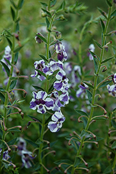 AngelMist® Purple Stripe Angelonia (Angelonia angustifolia 'AngelMist Purple Stripe') at Martin's Home and Garden
