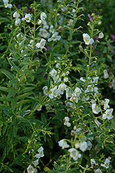 AngelMist® White Angelonia (Angelonia angustifolia 'AngelMist White') at Martin's Home and Garden