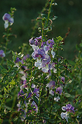 Angelface® Wedgewood Blue Angelonia (Angelonia angustifolia 'Angelface Wedgewood Blue') at Martin's Home and Garden